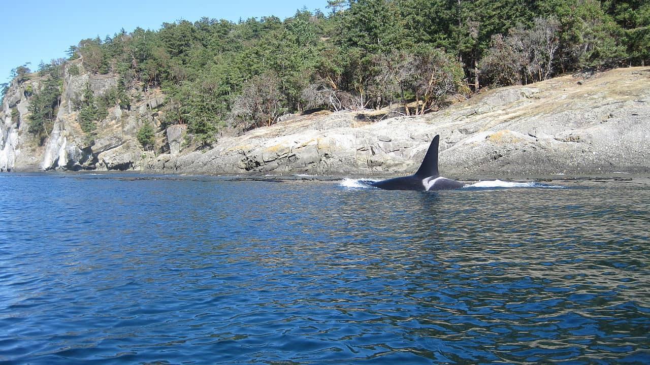 Southern resident Killer whale salish sea