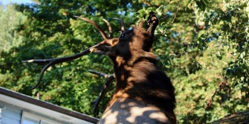 youbou elk cowichan photo of the week