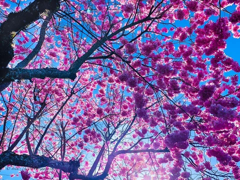Cowichan This Week: In bloom